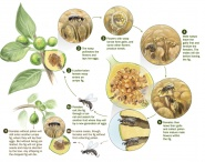 Life Cycle of Fig pollination with wasps